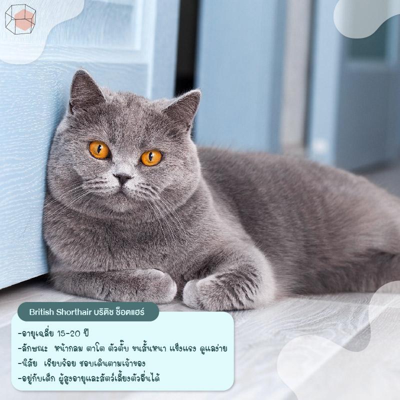 ทาสแมว British Shorthair