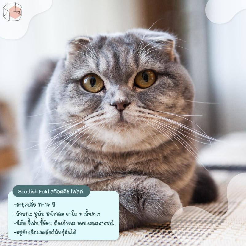 ทาสแมว Scottish Fold
