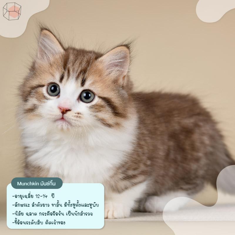 ทาสแมว Munchkin