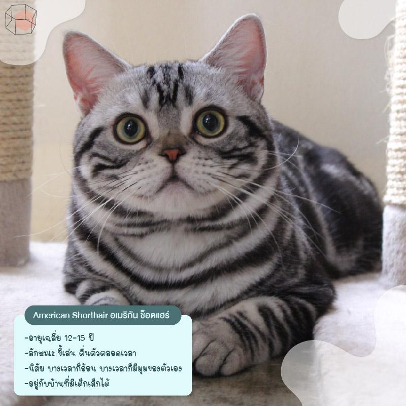 ทาสแมว American Shorthair