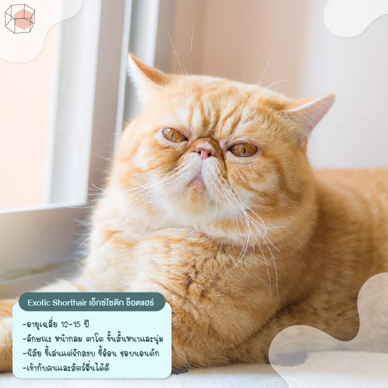 ทาสแมว Exotic Shorthair